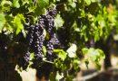 vino-fai-da-te-spumante-vendemmia-vite-vinificazione-imbottigliamento-cantina-degustazione-22