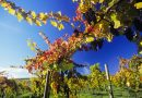 vino-fai-da-te-spumante-vendemmia-vite-vinificazione-imbottigliamento-cantina-degustazione-24