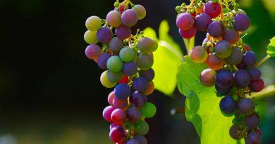 flavescenza-dorata-coltivare-la-vite-vino-fai-da-te