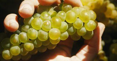 vino-fai-da-te-spumante-vendemmia-vite-vinificazione-imbottigliamento-cantina-degustazione-29