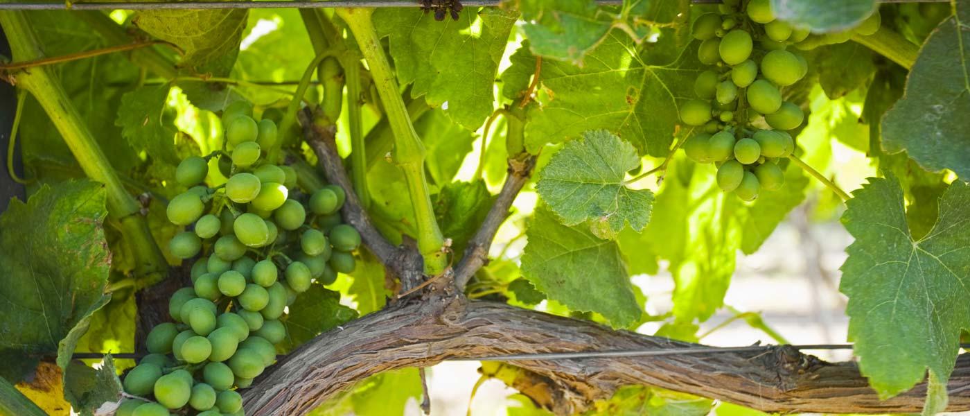 Pietre-del-Sole-GVP-vino-fai-da-te-vendemmia-viticoltura-degustazione-1